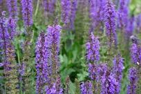 Salvia nemorosa 'May Night' (Hardy Sage)