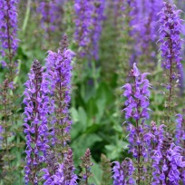 Salvia nemorosa 'May Night' (Hardy Sage)