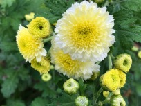 Passalong Button Chrysanthemum