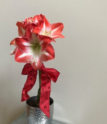 Hippeastrum (amaryllis) -January 1, 2018